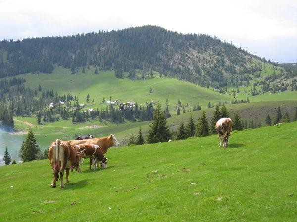 pag.6-7-peisaj-cu-vaci-600x4501